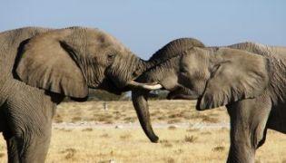 Etosha Elefanten