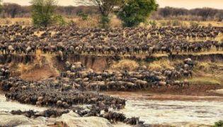 Flussüberquerung in der Serengeti