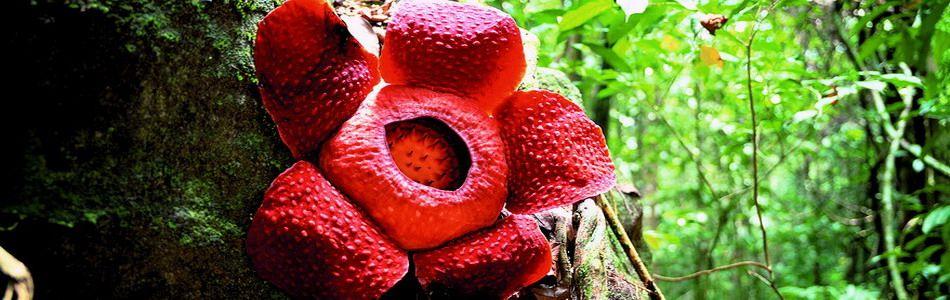 Rafflesia typisch für Malaysia