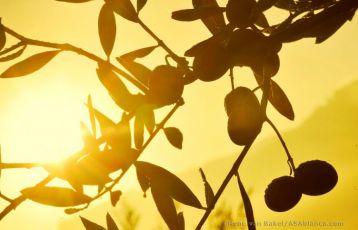 Oliven im Gegenlicht