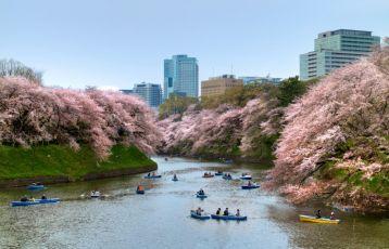 Tokyo Kirschblüte