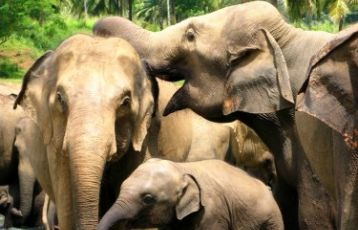 Elefantenwaisenhaus in Pinnawala