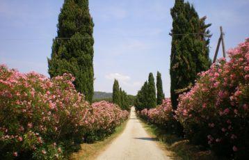 Oleanderallee