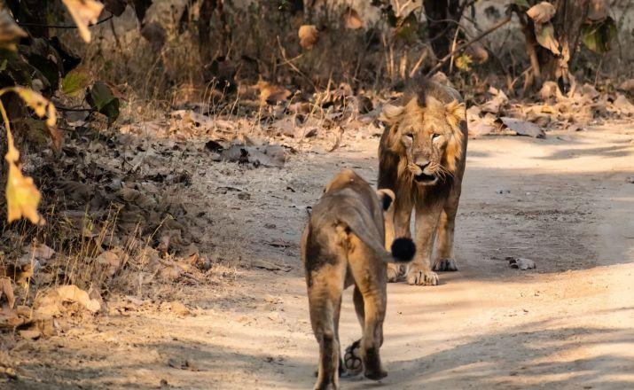 asiatische Löwen im Sasangir Nationalpark, Gujarat