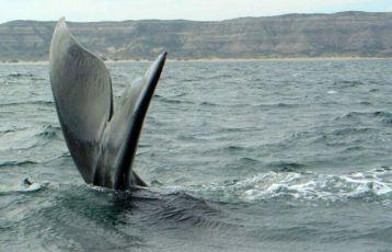 Walbeobachtung Halbinseln Valdes