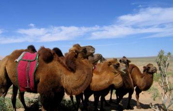 Kamele in der Gobi
